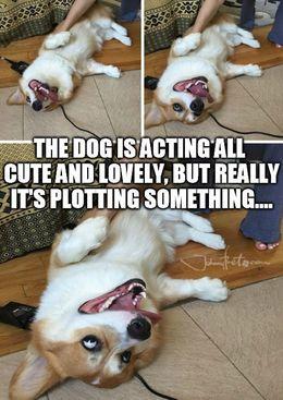 Cute dog plotting memes